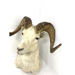 Taxidermy: Wild Goat, shoulder mount, bearing Knopp Bros taxidermy label, H80cm x W55cm